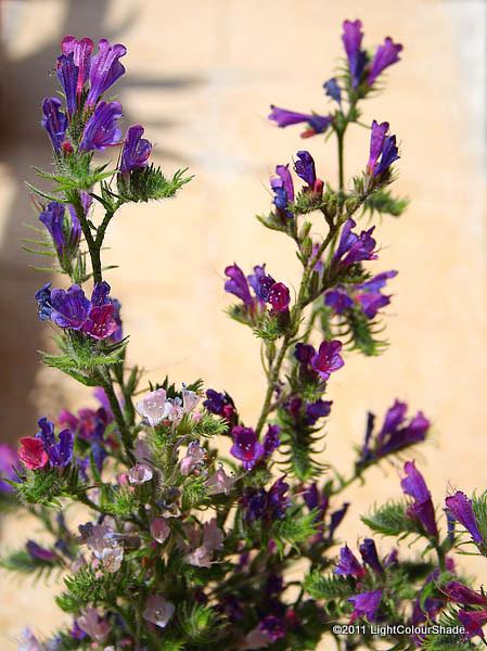 Echium plantagineum, Purple Viper Bugloss flowers