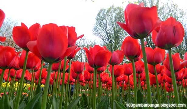 [GAMBAR-BUNGA] gambar taman bunga tulip indah putih