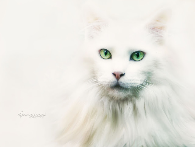 Photography  Mikey Cat feline white deaf green eyes animal