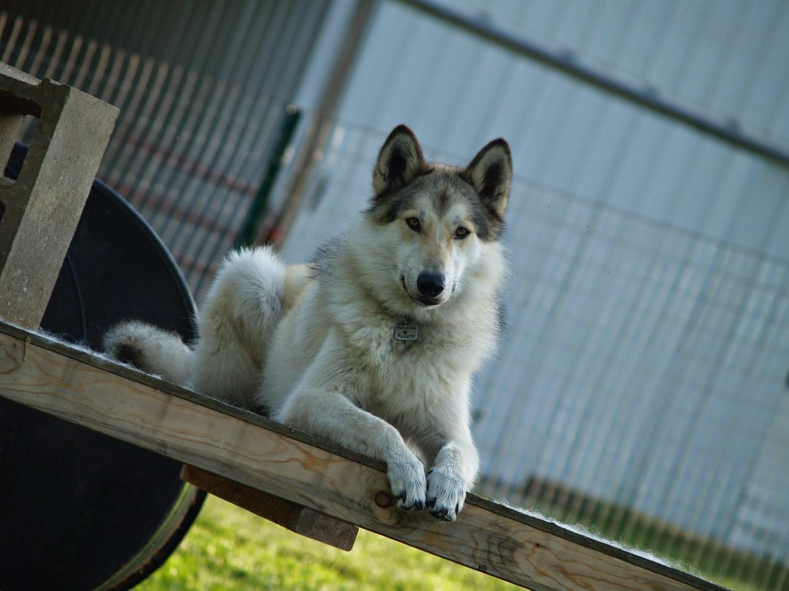 wolfdog prey drive, mid content wolfdog