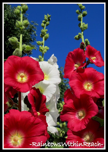 photo of: Red, White and Blue in Nature: Hollyhocks against a Brilliant Blue Sky