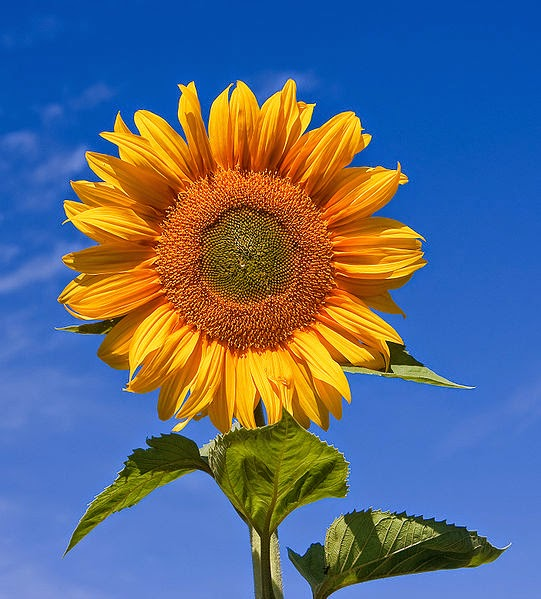 http://en.wikipedia.org/wiki/File:Sunflower_sky_backdrop.jpg