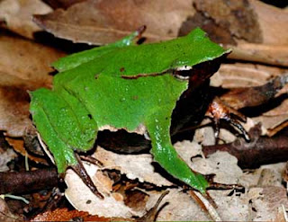 Weirdest Frogs On Earth Chile Darwin's Frog