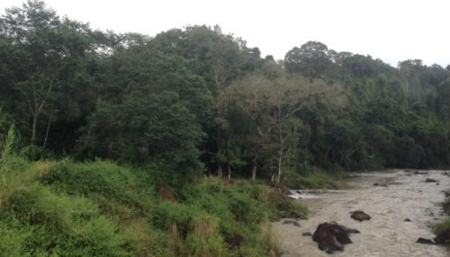 Gia Lai: Báo động tình trạng lâm tặc đốn hạ gỗ hương