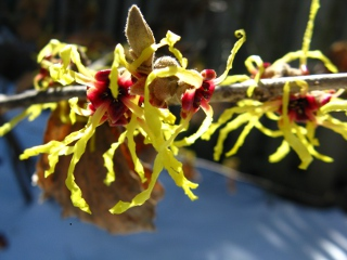 arnold promise witch hazel bloom hamamelis x intermedia by Paul Jung Gardening Services Toronto