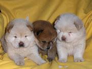 Raças de Cachorro: Chow Chow