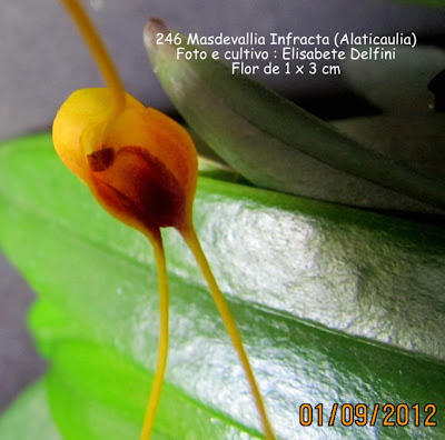 Masdevallia  infracta  do blogdabeteorquideas