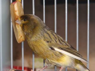Burung Kenari - Solusi Penangkaran Burung Kenari -  Kode Ring Kenari Import Pada Negara Bulgaria