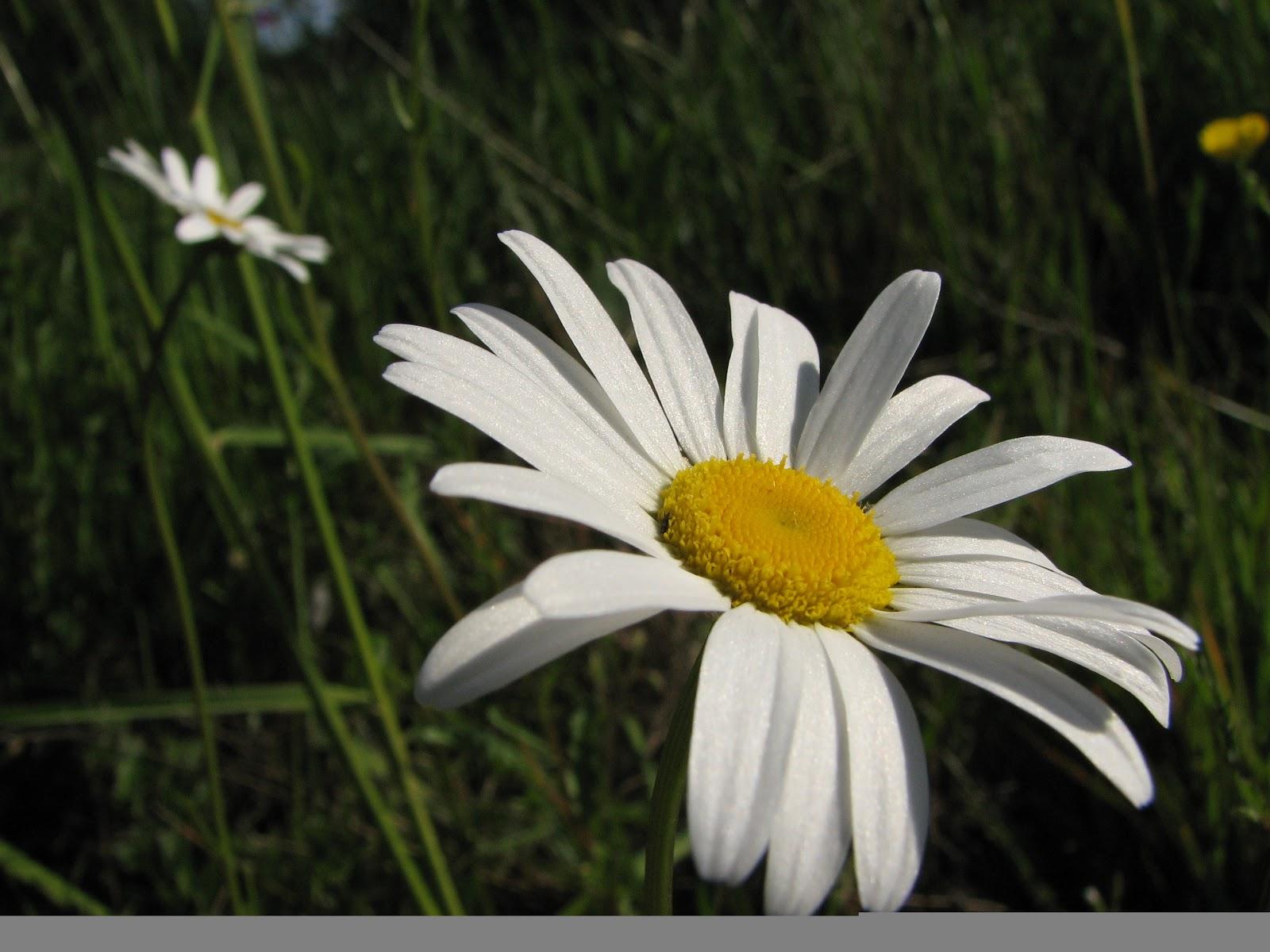 Daisy flower blog art designs blog art designs izmirmasajfo