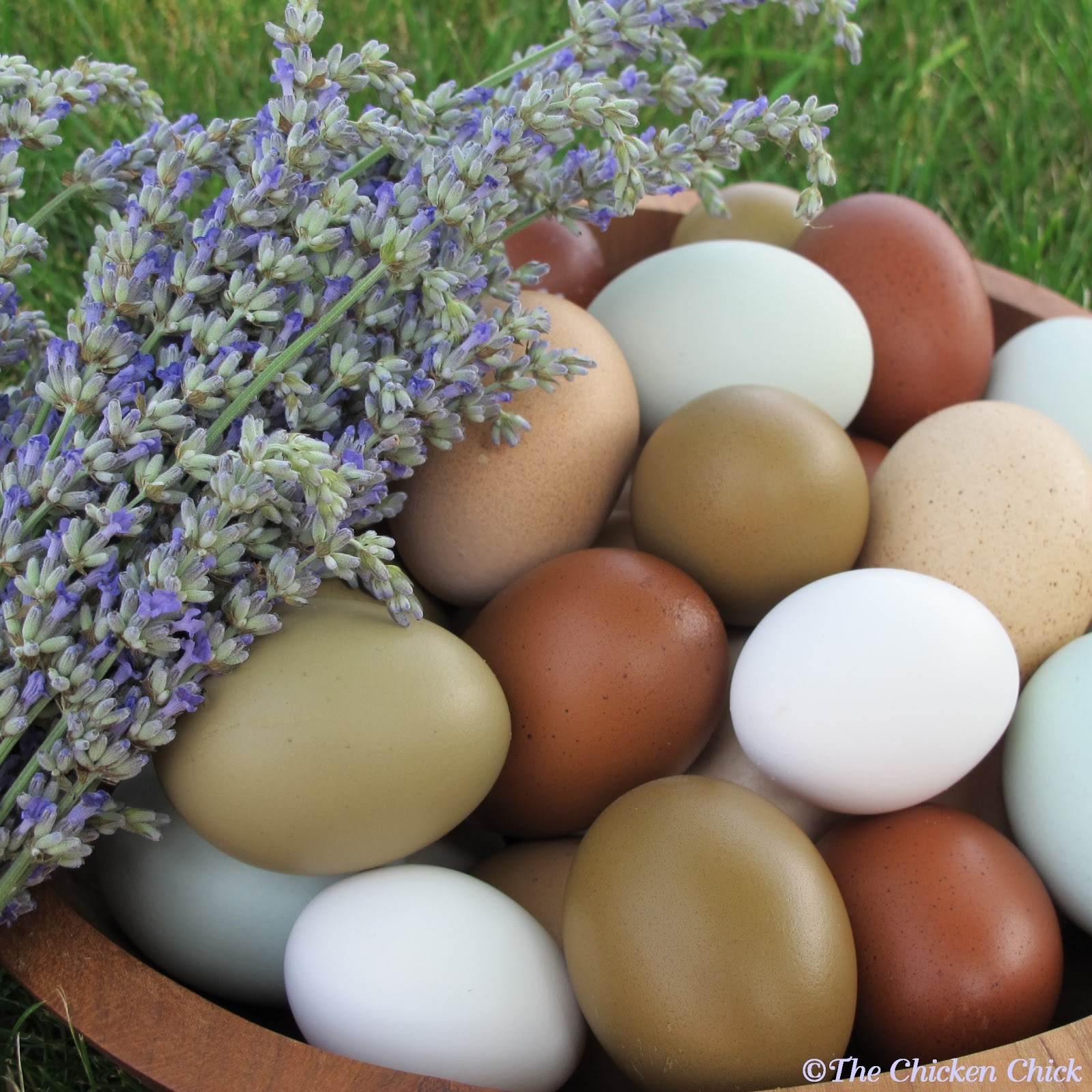the chicken facts and myths about fertile eggs