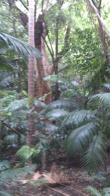 Grande árvore do Bosque do Brooklin