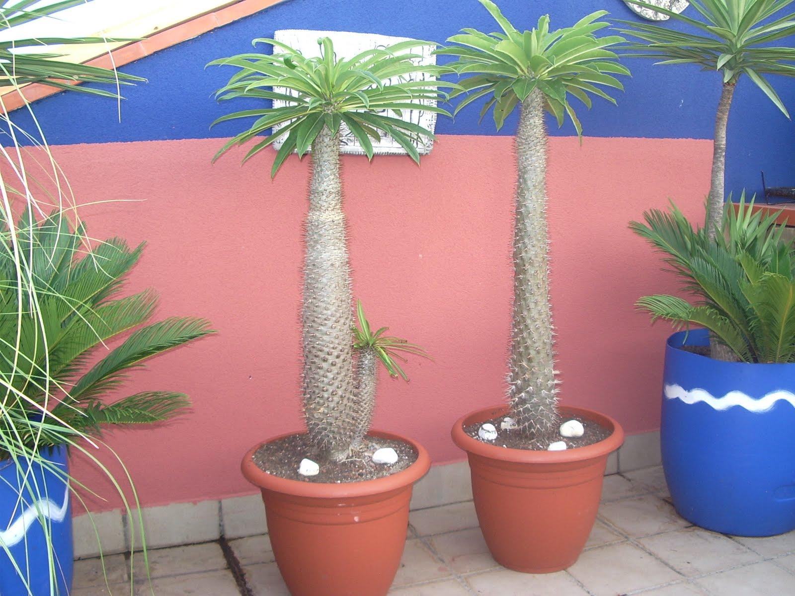 Un jardin en macetas pachipodium lamerei for Jardin que planter en janvier