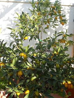 árbol de las naranjas enanas