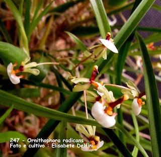Sigmatostalix radicans , Ornithophora quadricolor, Gomesa radicans