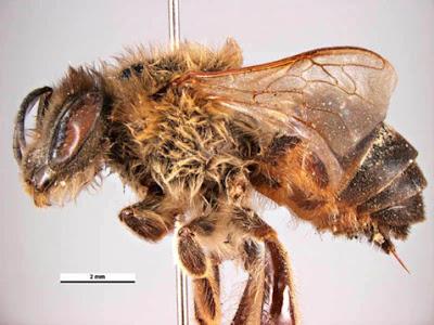южно-африканская пчела