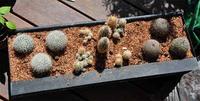 Flower box planted with Echinocereus reichenbachii and Mammillaria
