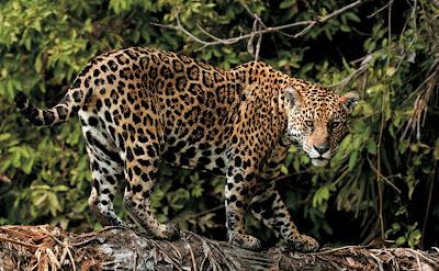 Onça pintada também vive no Cerrado brasileiro