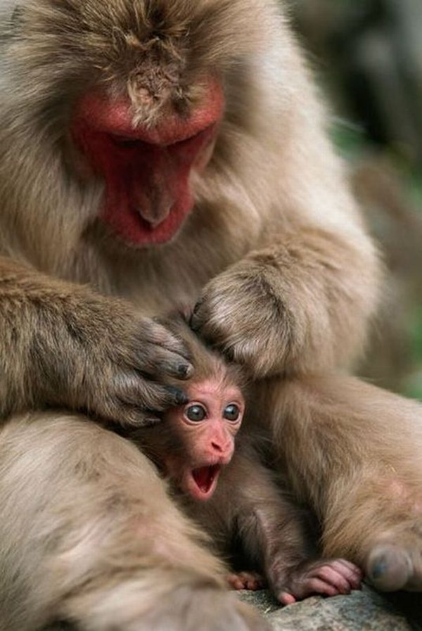 funny animal pictures, mother monkey and her baby