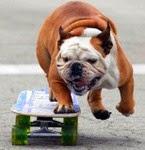 Anjing Pengendara Skateboard Tercepat