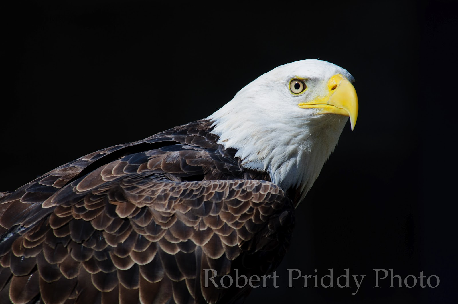 Robs photo facts the bald eagle became our national symbol on june 20 1782 we almost lost these magnificent creatures in the 70s due to unregulated and ignorant use of biocorpaavc