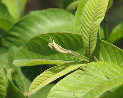 Obat Herbal Alami Untuk Mengobati Diare dan Disentri