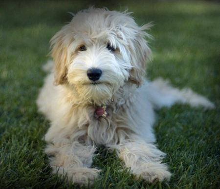 ... Pictures-of--mixed-breed-golden-retriever-poodle-puppy-for-sale.jpg