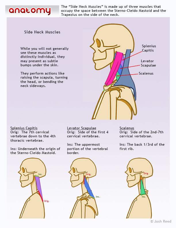 Side of neck anatomy