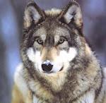 1r EP - La classe dels llops grisos