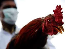 Cara pengobatan dan pencegahan penyakit pilek pada ayam