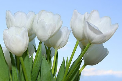 Gorgeous White Tulips by cool and beautiful wallpapers