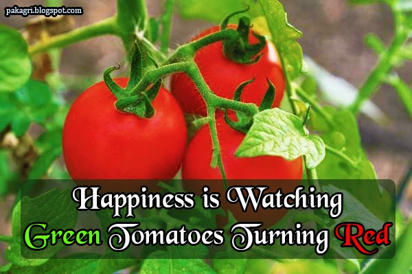 Happiness is watching green tomatoes turning red