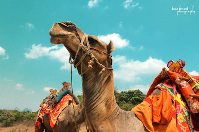 "two camels clicked by Isha Trivedi in khandala ""Isha Trivedi"""