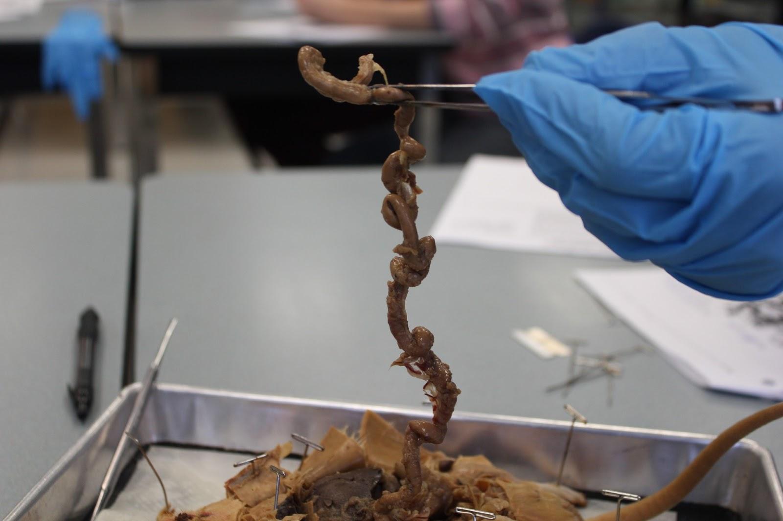 Biology and stuff (bio 11 class): Rat Dissection