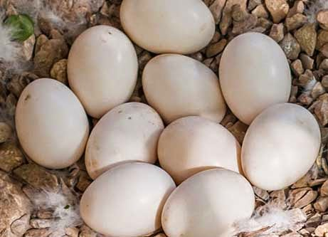 انواع البيض - بيض البط