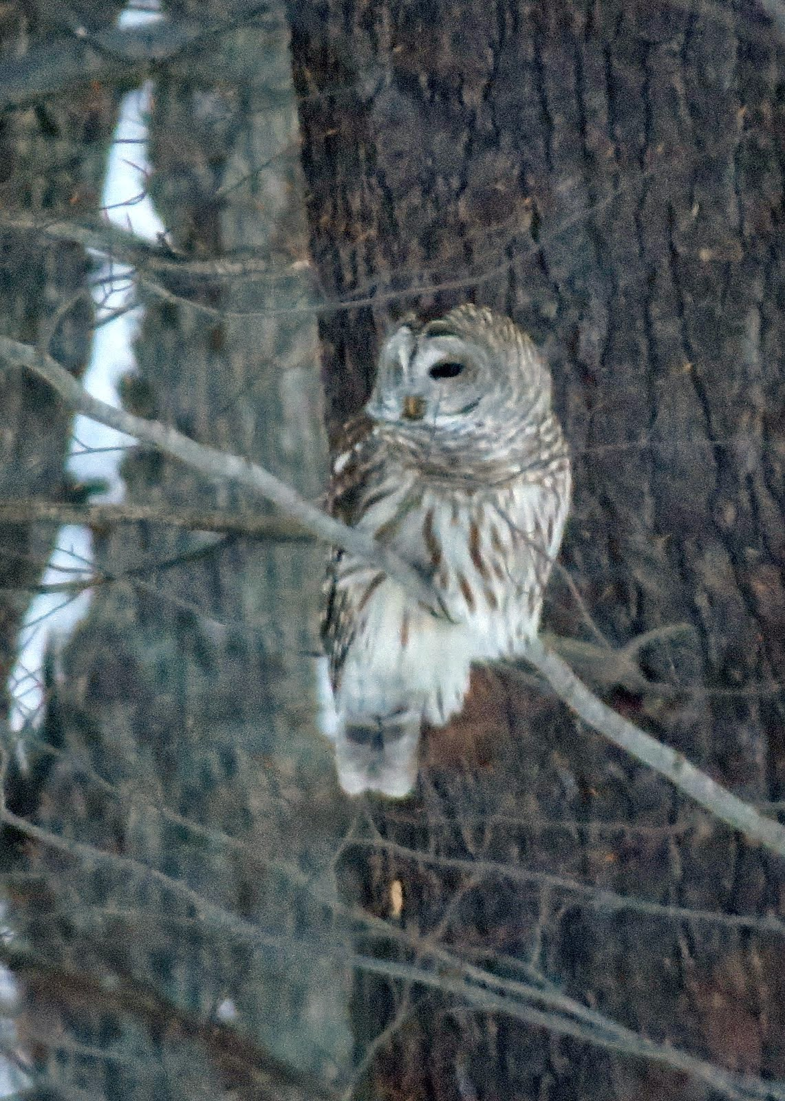Barred Owl ~ Wellesley Island