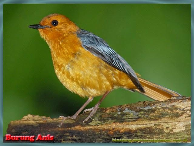 gambar burung anis