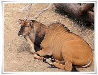 Eland Animal Pictures