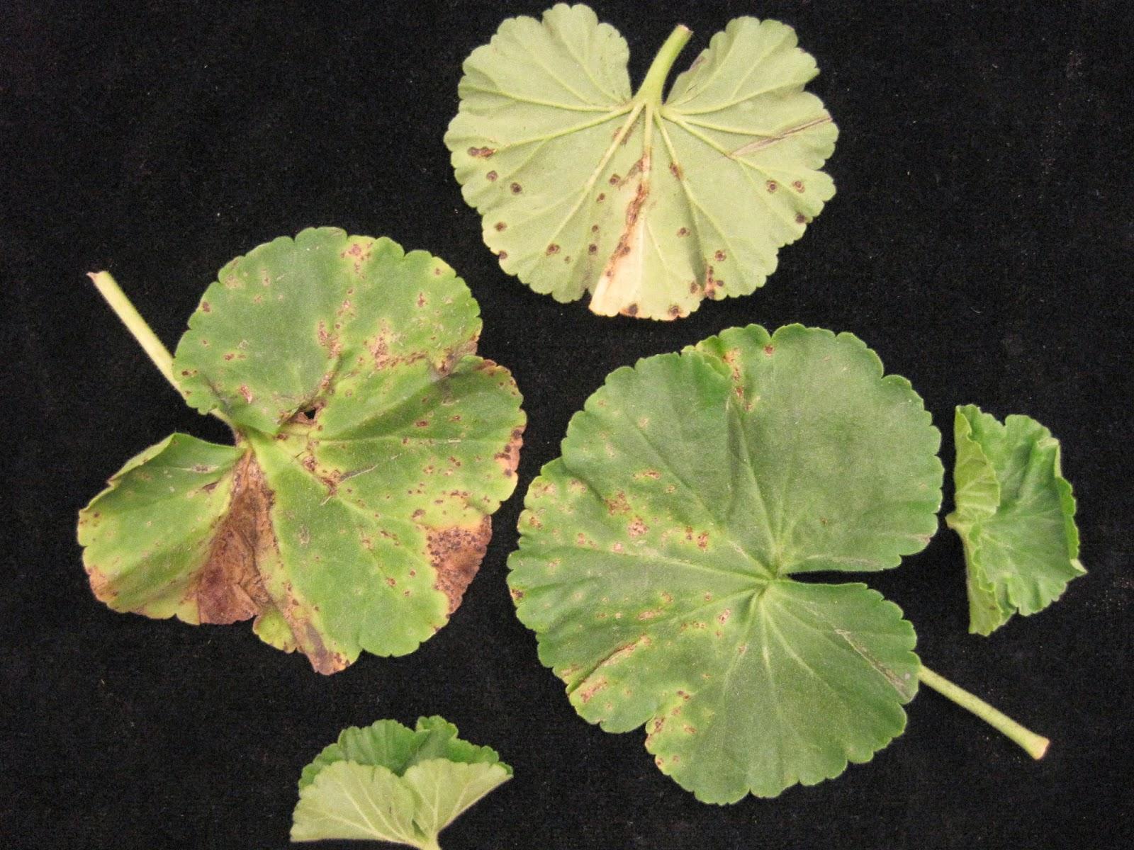 Почему желтеют листья герани в домашних условиях