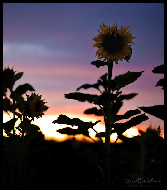 Sonnenblume im Abendlicht