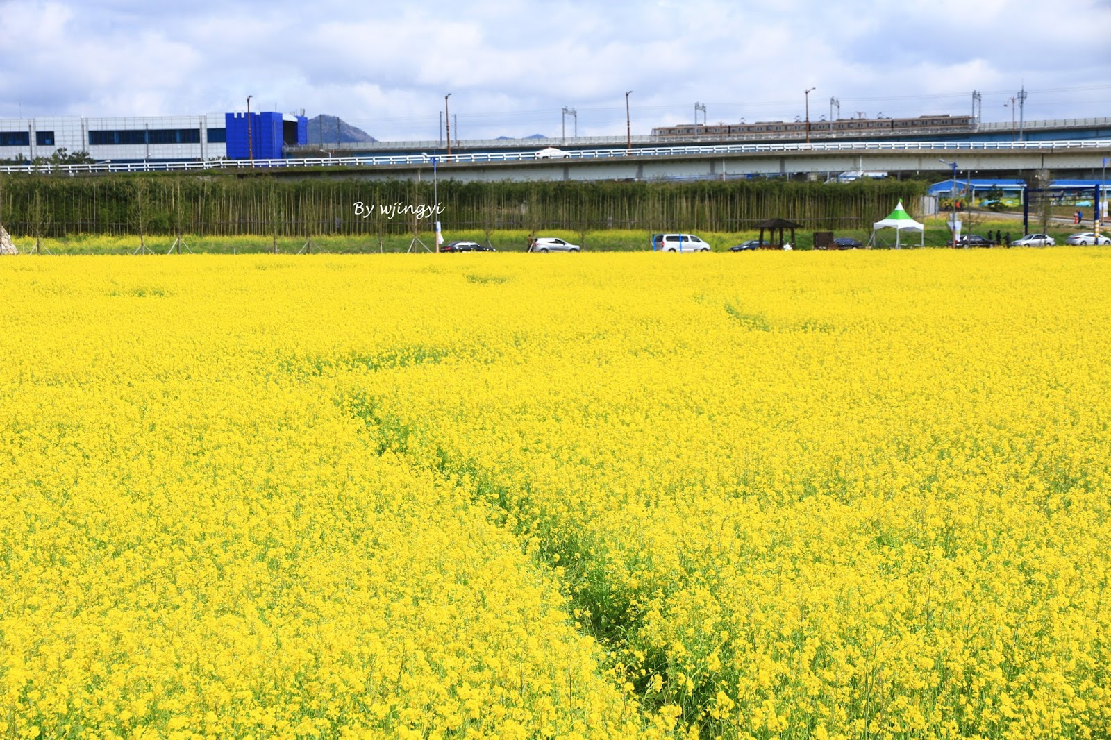 Canola Flowers In Spring Daejeo Busan Pieces Of Me