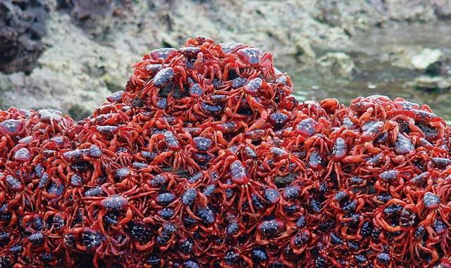 red crab migration 11%5B2%5D هجرة سرطان البحر ، حين تجد مدينتك تكسوها هذه الكائنات ، فيلم رعب على أرض الواقع