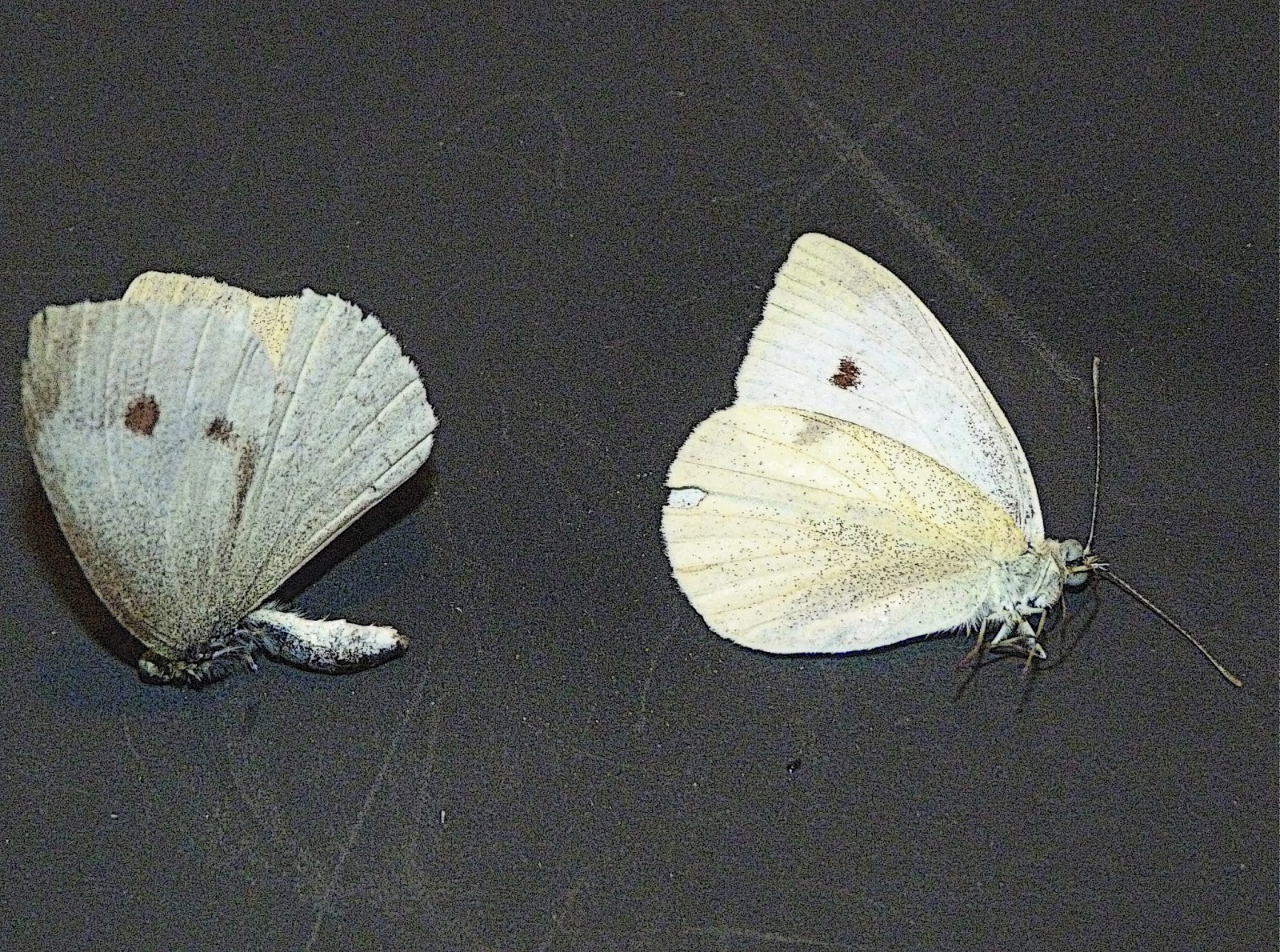 Pieris Rapae, European Cabbage Butterfly, Female And Male, Pittsburgh, ...