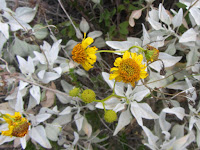 Brittlebush (Encelia farinosa) on Fish Canyon Trail