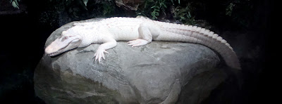 Albino Alligator at Georgia Aquarium