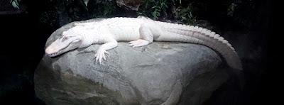 Albino Alligator at Georgia Aquarium