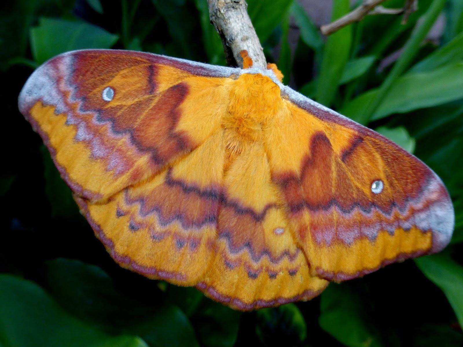 Syntherata escarlata female