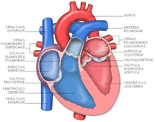 corazón arterias