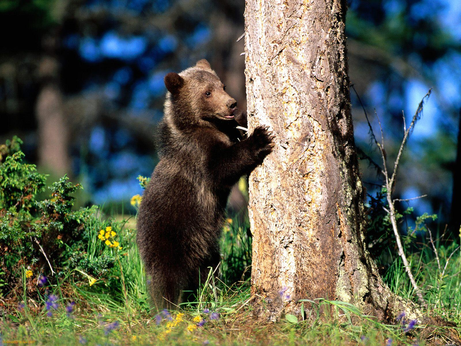 Grizzly bears cubs - photo#11