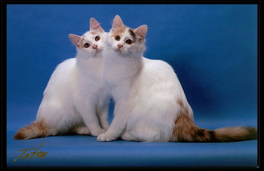 Turkish Van Cats Swimming Pictures to Pin on Pinterest ...