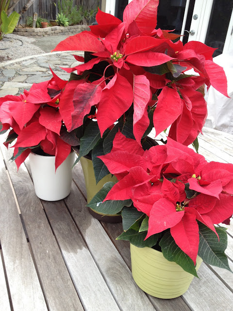 Christmas Poinsettas